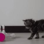 Osamu the Kitten Likes Bowling