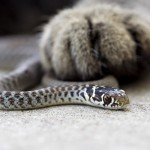 Cat_paw_and_grass_snake
