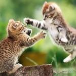 Attack Kitten