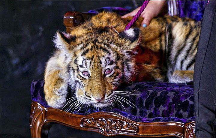 The Claws Come Out After a Casino Drugs Tiger Cub