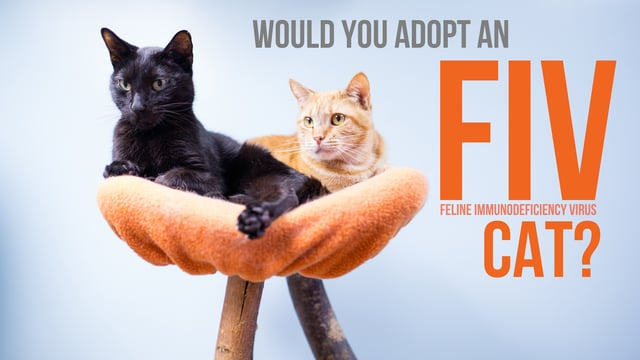 world aids day and feline fiv life with cats