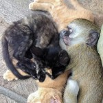 Horace the Monkey Loves to Cuddle With Cats