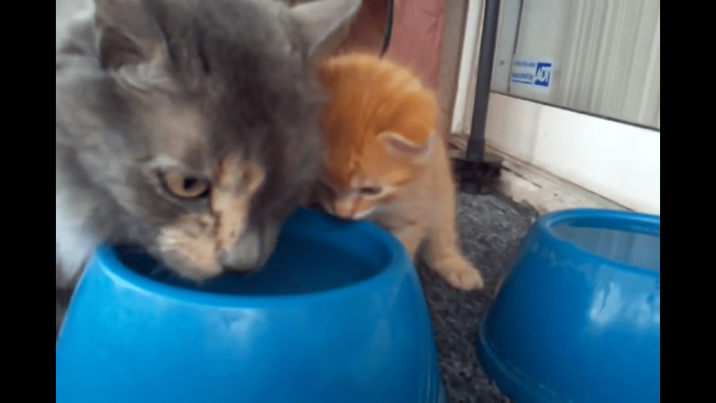 Mother Teaches Kitten How to Drink From a Water Bowl