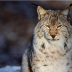 Missing Lynx To Return To UK Forests