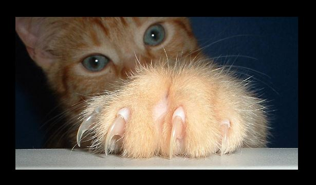 The War Over Declawing Moves To New York Life With Cats
