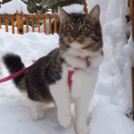 Rosie the Cat Explores Snow with Her Husky Pack