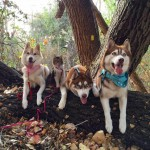 Cat Adopted Into Siberian Husky Pack