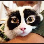 Rare Racoon-Panda Cat