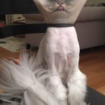 Persian Cat's Reaction to the Cone of Shame Goes Viral