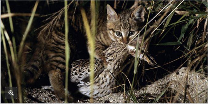 NEwildcat2