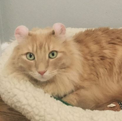 Картинки кот с ушами