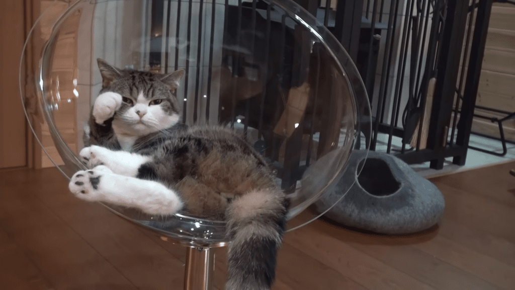 Maru Gets a New Clear Cat Bed