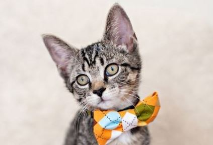 Feline Fashionistas Rock the Bow Tie