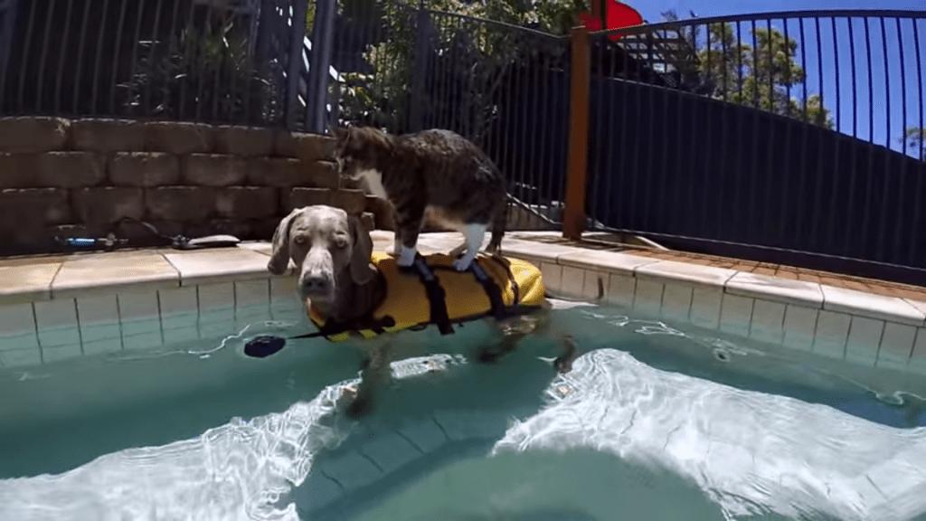 dog surfing cat