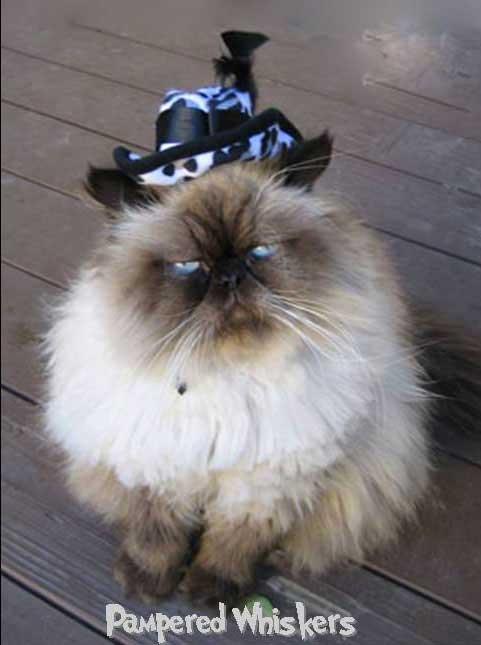 Bandit wearing the Hollywood Hustler cat hat