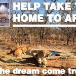 Your Help Needed to Transport Rescued Lions Back to Africa