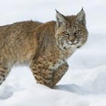 Bobcats Catch A Break: State Says No Hunting And Trapping