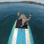 Boomer the Cat Goes for a Surfboard Ride