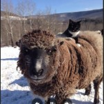 Cat Is King Of The Beasts At Farm Animal Sanctuary
