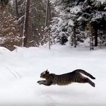 Stunning Cat Dashes Through Snowy Czech Countryside