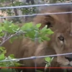 Circus Lions Get First Taste Of Freedom