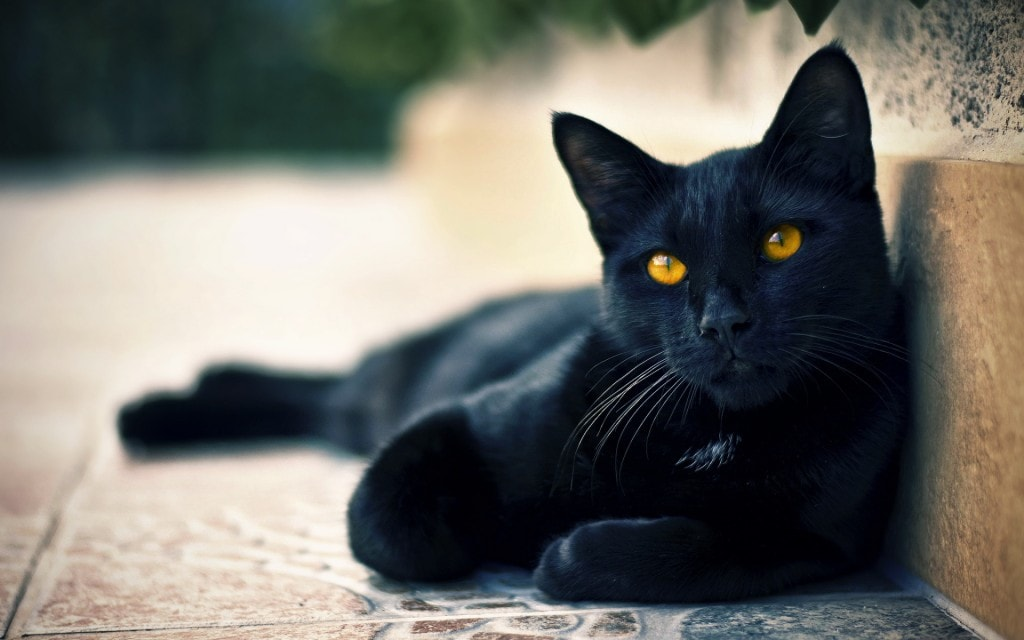 black-cats-awesome-www.gibbahouse-13