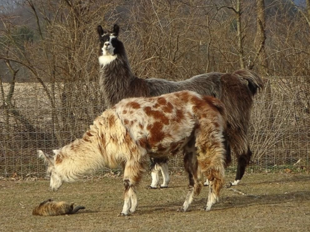 Llama and Cat Are the Best of Friends