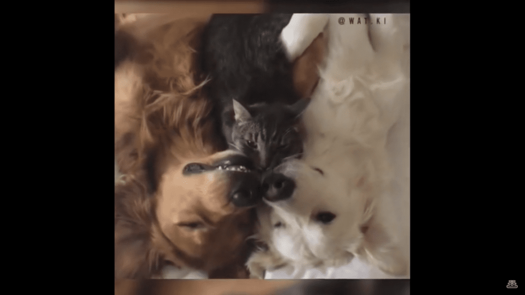 Adorable Dogs Nap With Their Adopted Cat Brother