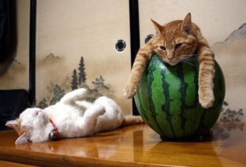 mmmmmmmm watermelon life with cats