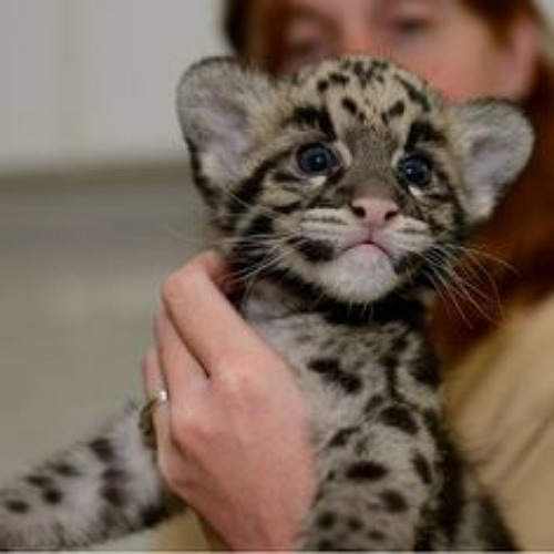 Exotic Cat Breeding Program Has Welcomed 21 Cubs Since March - Life