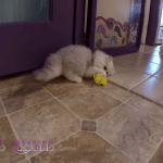 Adorable Persian Kittens Playing