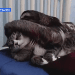 Sloth Snuggles With Cat Friend