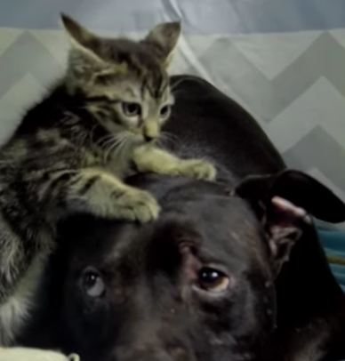 Kitten Nanny Is Dream Job for Pit Rescued From Vick Dog Fighting Ring