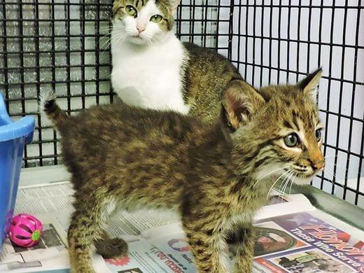 Bobcat newborn