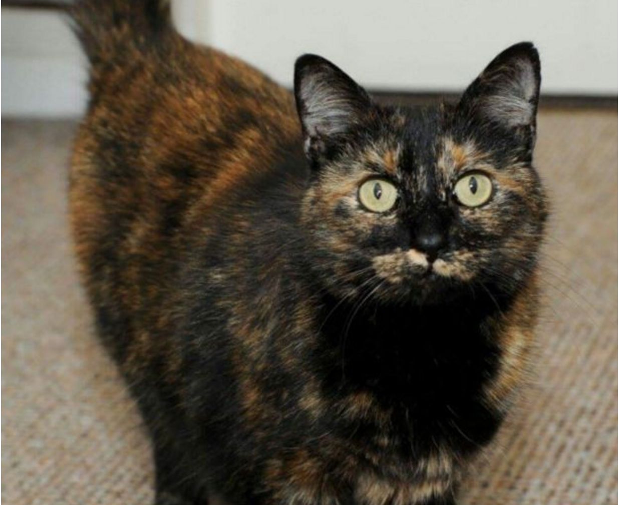 Hero Tortie Named Cat Of The Year For Saving Family Life