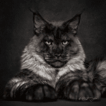 Capturing the Beauty of Maine Coon Cats