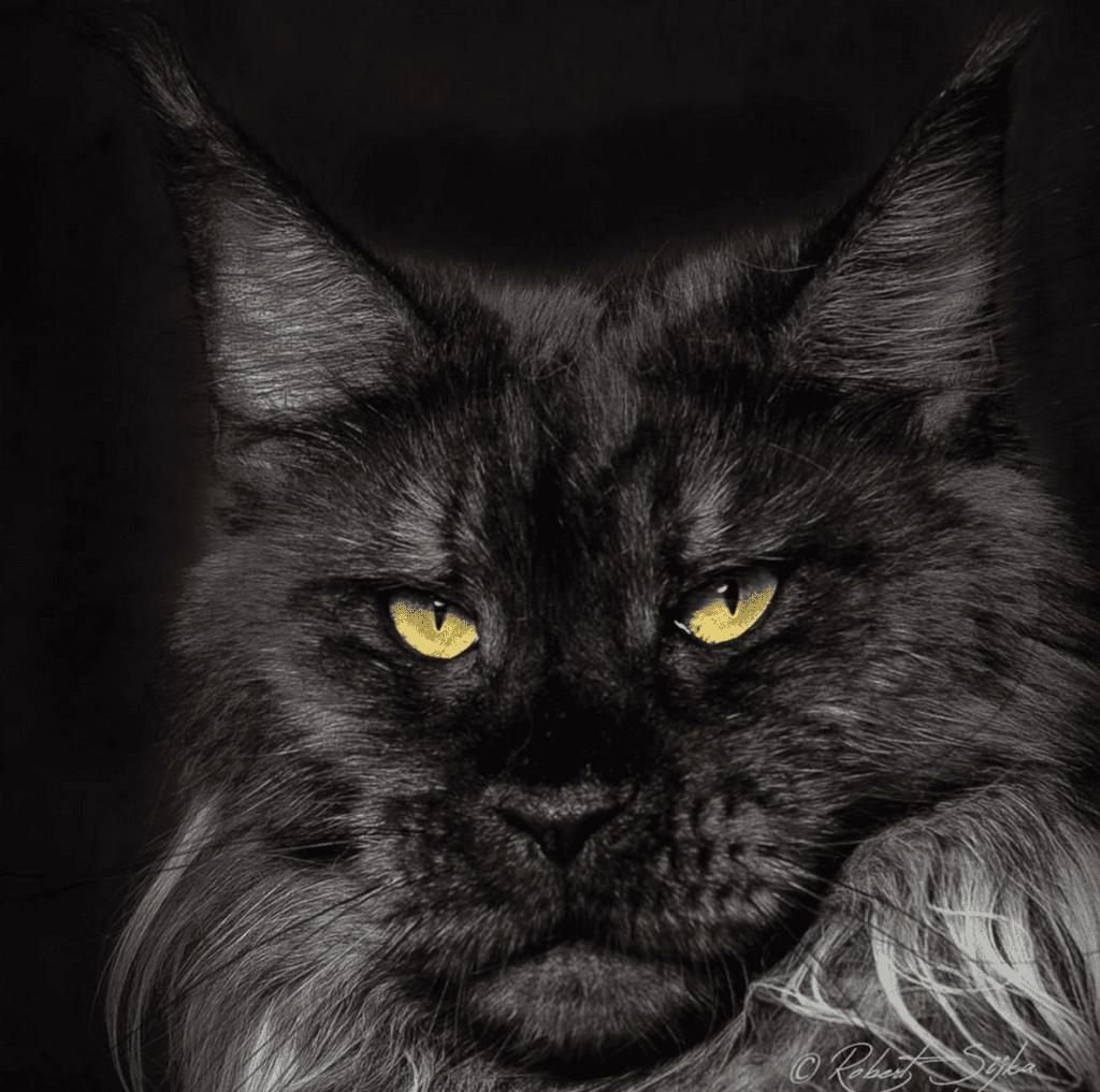Black Cat Shot