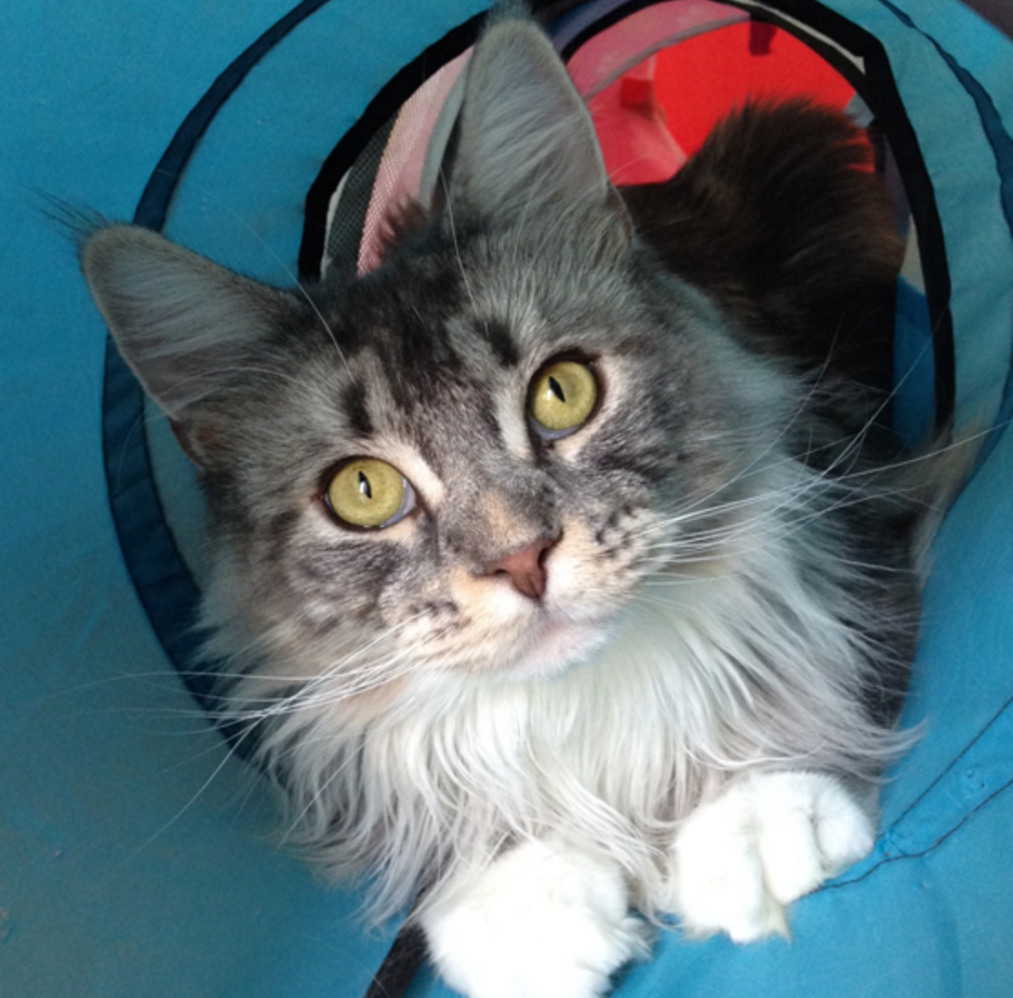 Capturing the Beauty of Maine Coon Cats - Life With Cats