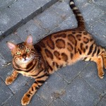 Thor Just Might Be the Most Beautiful Bengal Cat Ever