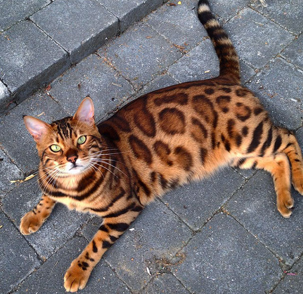 How much attention do bengal cats need