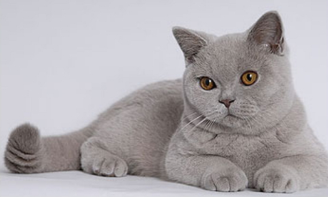 lavender cat - photo #4