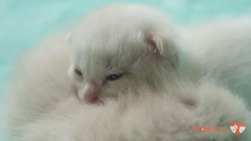 siamese kittens 1