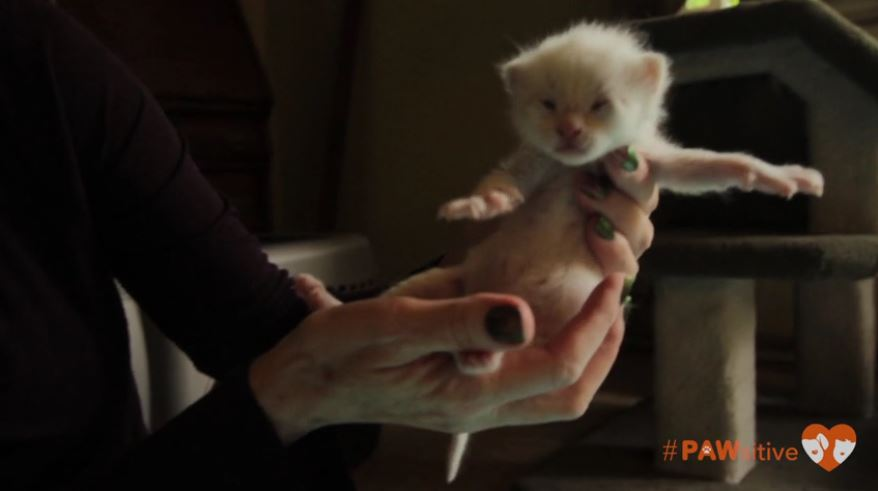 siamese kittens 3