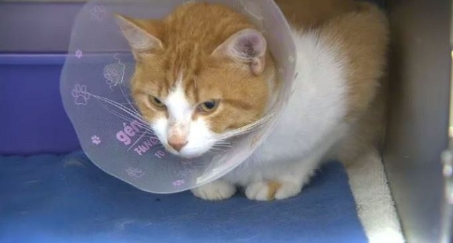 Stray Cat With Slit Throat Almost Ready for Forever Home