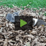 Kitten and Guinea Pig Play in Pile of Leaves