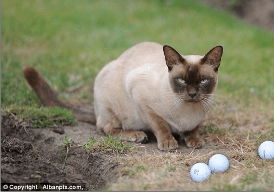 Burmese cat rescue suffolk