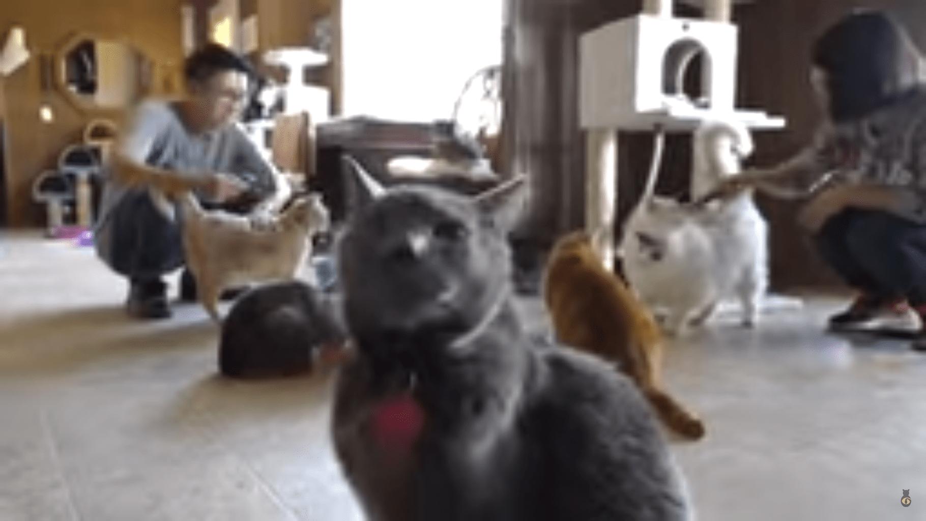 hyperthyroidism in cats diet