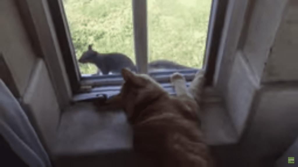 Fearless Squirrel Torments Cat