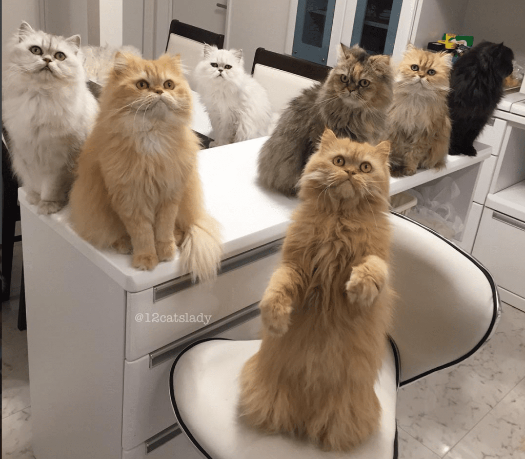 Meet The Cat Lady With 12 Persians