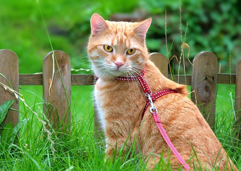 Можно ли гулять с кошкой